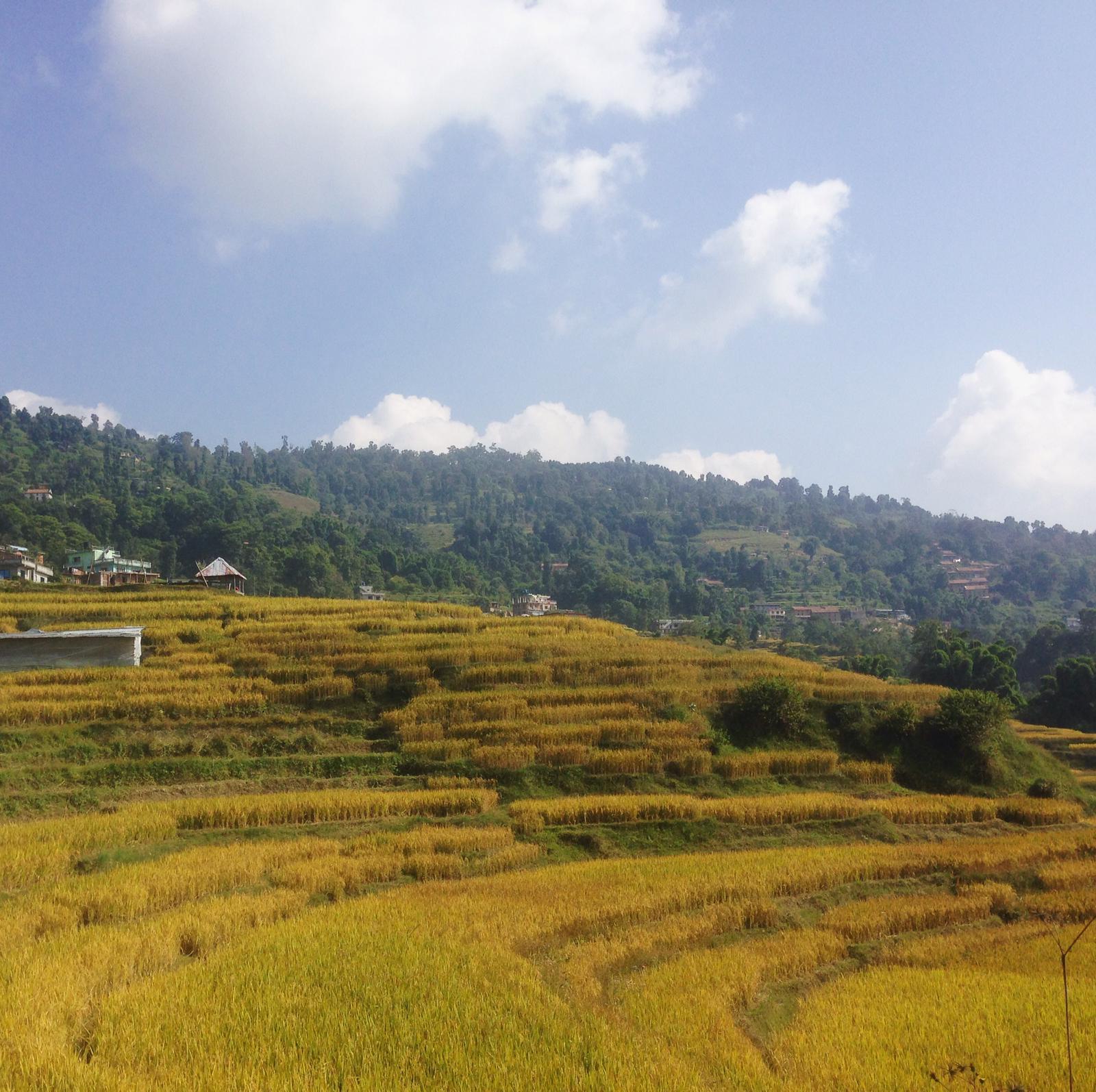 Changunarayan - rizières
