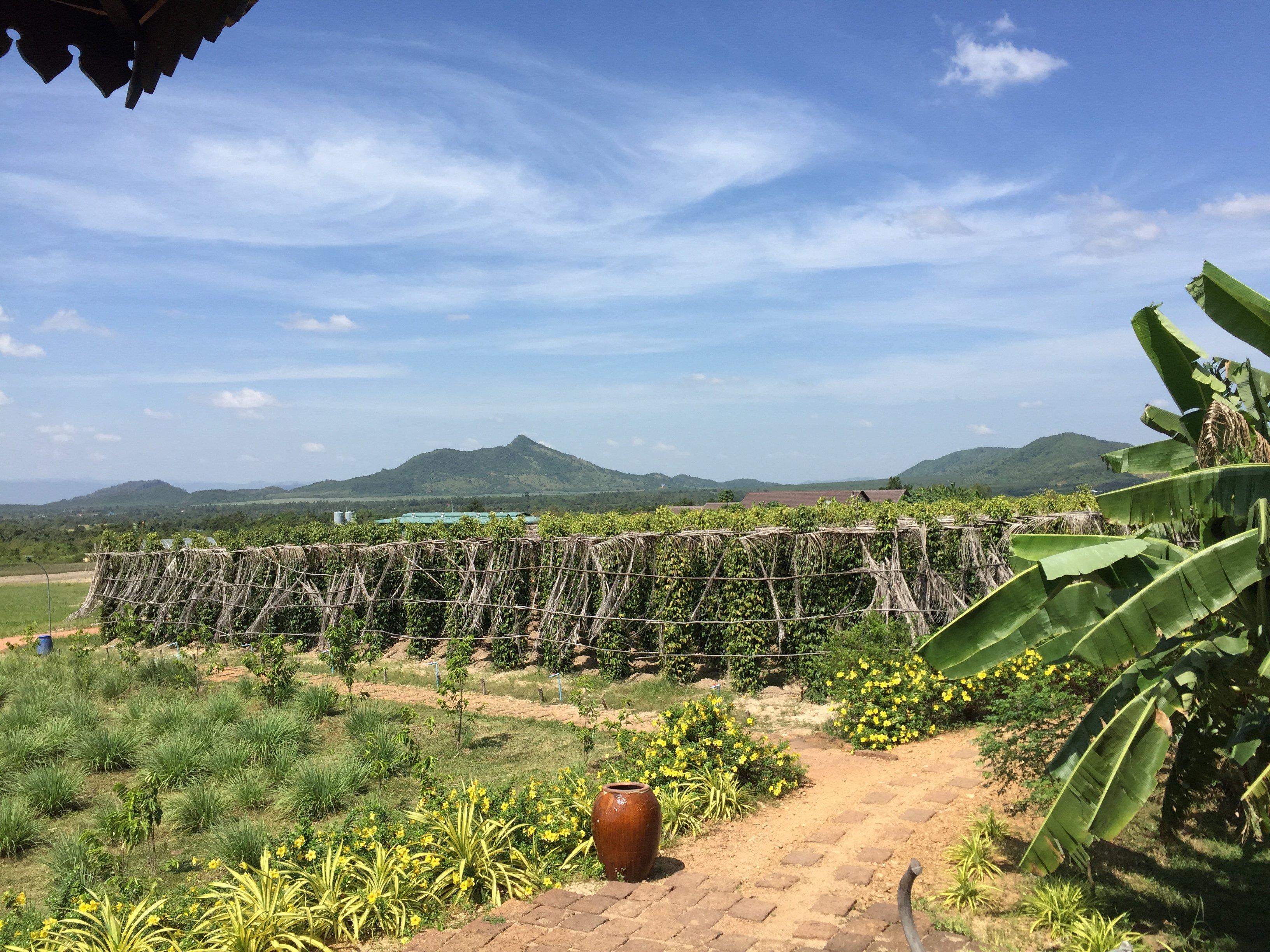 Kampot poivre la plantation